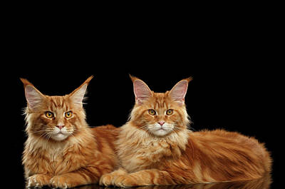 Cat Wall Art - Photograph - Two Ginger Maine Coon Cat On Black by Sergey Taran