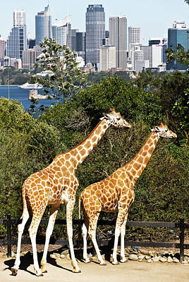 Photograph - Two Giraffes And Sydney by Miroslava Jurcik