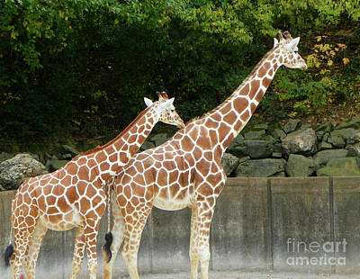 Photograph - Two Giraffes Expecting by Shirley Moravec
