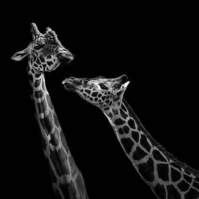 Two Giraffes In Black And White Art Print by Lukas Holas