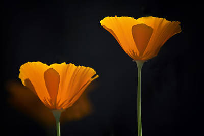 Photograph - Two Golden Poppies  by Saija Lehtonen
