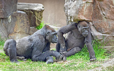 Photograph - Two Gorillas Relaxing Iv by Jim Fitzpatrick