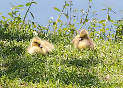 Baby Bird Photograph - Two Goslings by Carol Groenen