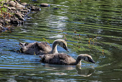 Photograph - Two Goslings Taking A Swim, No. 1 by Belinda Greb