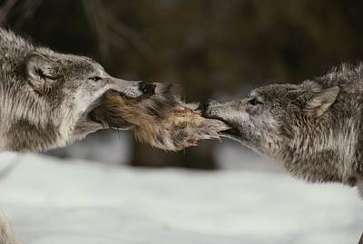 Carcass Photograph - Two Gray Wolves, Canis Lupus, Tussle by Jim And Jamie Dutcher