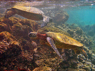 Hawaiian Green Sea Turtle Photograph - Two Honu On The Reef by Bette Phelan