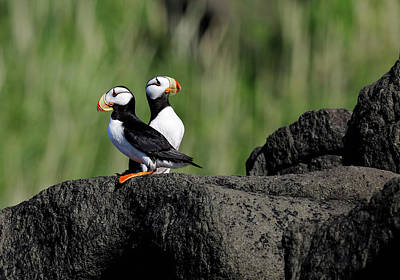 Photograph - Two Horned Puffins by Mark Harrington
