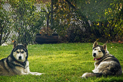 Photograph - Two Husky Dogs by Waterdancer
