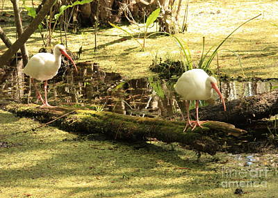 Cypress Swamp Photograph - Two Ibises On A Log by Carol Groenen