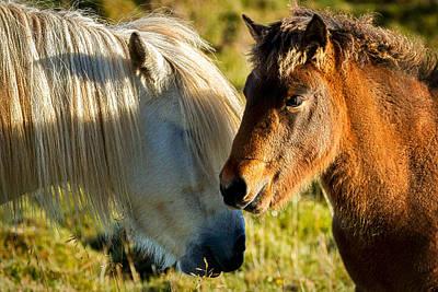 Photograph - Two Icelandic Horses - Iceland by Stuart Litoff