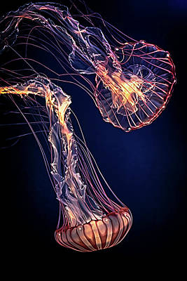 Photograph - Two Jellies Adrift by Susan Rissi Tregoning