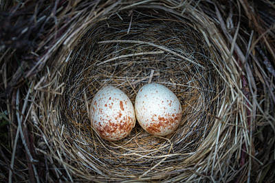 Photograph - Two Junco Eggs In The Nest by William Freebilly photography