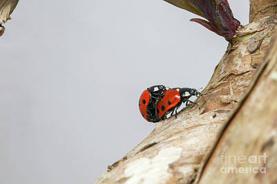 Photograph - Two Ladybirds Reproducing by Patricia Hofmeester