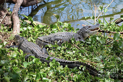 Photograph - Two Lakeside Gators by Carol Groenen