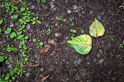 Photograph - Two Leaves And Seedlings by Mary Lee Dereske