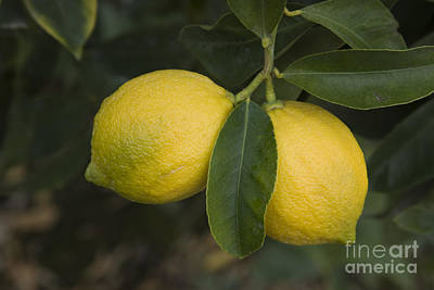 Sour Photograph - Two Lemons by Inga Spence