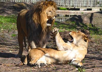 Photograph - Two Lions Having A Disagreement by Richard Bryce and Family