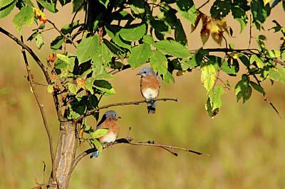 Photograph - Two Little Bluebirds Sitting In A Tree by Debbie Oppermann