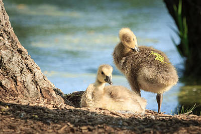 Photograph - Two Little Goslings by Joni Eskridge