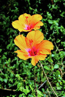 Photograph - Two Long Stemmed Hibiscus by Craig Wood