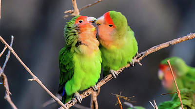 Rosy-faced Lovebird Photograph - Two Loving Rosy Faced Lovebirds by John Platt