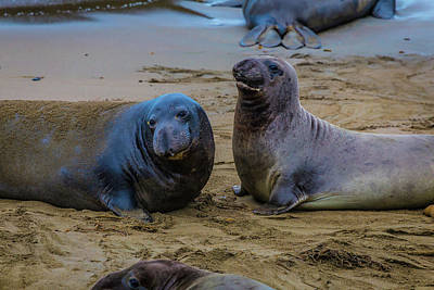 Elephant Seals Photograph - Two Male Elephant Seals by Garry Gay