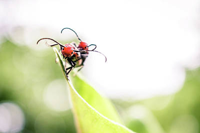 Photograph - Two Milkweed Beetles by Jeanette Fellows