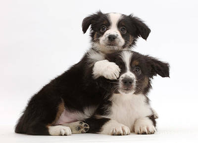 House Pet Photograph - Two Mini American Shepherd Puppies by Mark Taylor