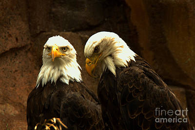 Photograph - Two Montana Eagles by Adam Jewell