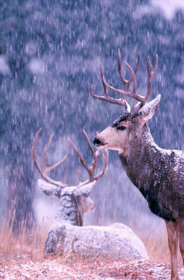 Photograph - Two Mule Deer Bucks In Snow by Mark Miller