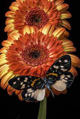 Gerbera Photograph - Two Mums And Butterfly by Garry Gay