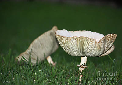 Photograph - Two Mushrooms by Terri Mills