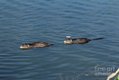Photograph - Two Muskrats by Ann E Robson