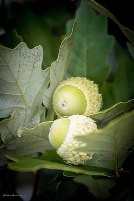 Photograph - Two Oak Acorns by LeeAnn McLaneGoetz McLaneGoetzStudioLLCcom