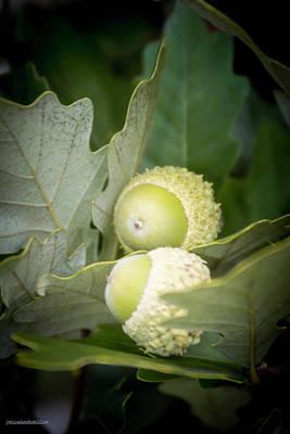 Photograph - Two Oak Acorns by LeeAnn McLaneGoetz McLaneGoetzStudioLLCcom