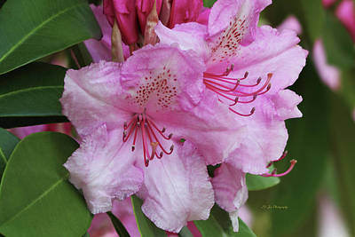 Photograph - Two Of A Kind - Rhododendrons by Jeanette C Landstrom