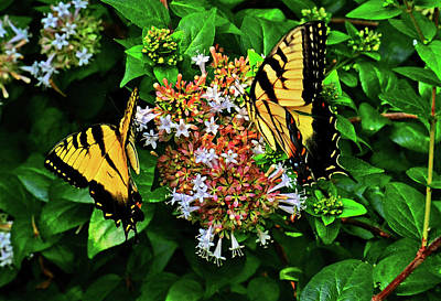 Photograph - Two Of A Kind - Swallowtails 003 by George Bostian