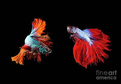 Betta Fish Photograph - Two Of Beautiful Color Betta Fighting Fish Preparing To Fight On by Suriya Silsaksom
