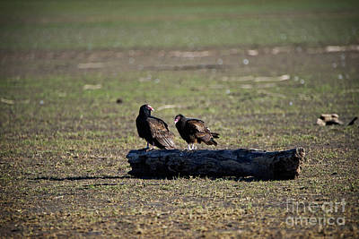 Two Crows Photograph - Two Old Buzzards by Charles Dobbs