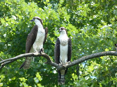 Art Print featuring the photograph Two On A Limb - Osprey by Donald C Morgan