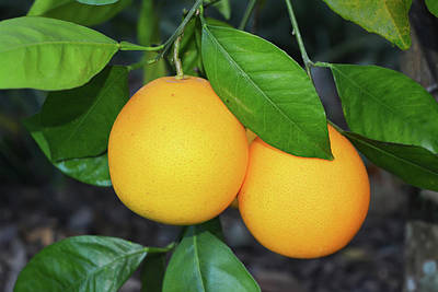 Photograph - Two Oranges by Aimee L Maher Photography and Art Visit ALMGallerydotcom