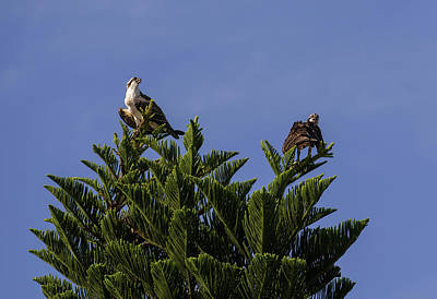 Osprey Photograph - Two Ospreys On A Living Christmas Tree by Zina Stromberg