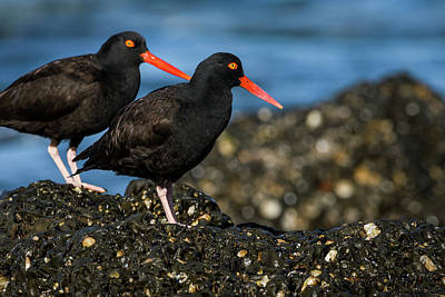 Photograph - Two Oystercatchers by Robert Potts