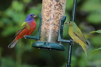 Photograph - Two Painted Buntings by Dart Humeston