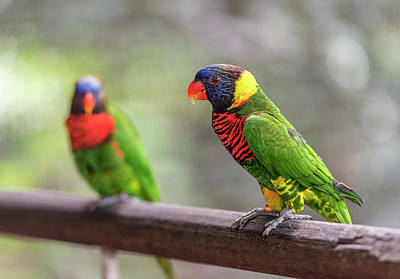 Photograph - Two Parrots by Pradeep Raja Prints