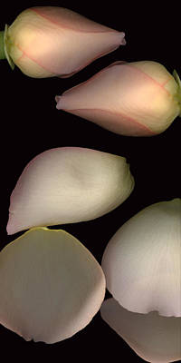 Photograph - Two Peach Roses And Petals #2 Panoramic Tall by Heather Kirk