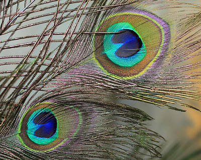 Two Peacock Feathers Art Print