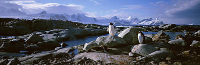 The Penguin Photograph - Two Penguins Standing On Rocks by Panoramic Images