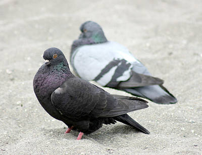 Photograph - Two Pigeons by Barbara  White