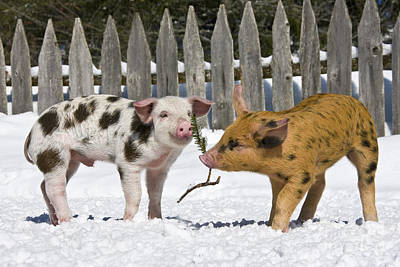 Litter Mates Photograph - Two Piglets Playing by Jean-Louis Klein and Marie-Luce Hubert